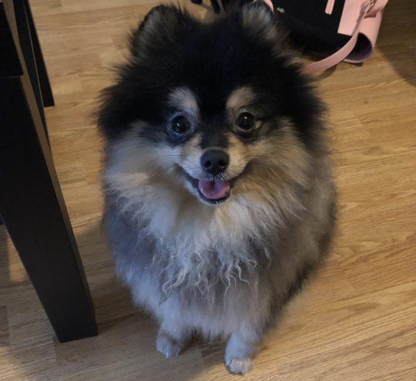 Ik adopteerde een hondje: maak kennis met Pombär de Pomeranian!